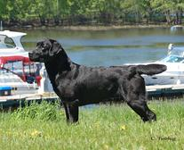 Royal Flush Labs- Quality labrador retrievers
